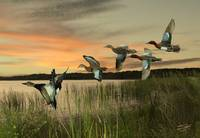 Cinnamon Teal Ducks at Dusk