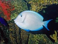 Blue Tang Tropical Fish