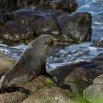 """Baby Seal At Moeraki Lighthouse"" by AriefRasa"