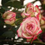"""""""PINK AND WHITE BEAUTIES"""" by shaynaphotography"""