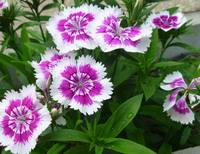 Dew kissed Dianthus