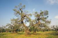 Ancient Olive Tree at Olive Grove in Puglia, Italy
