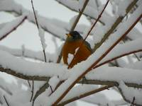 Frosty Winter Morning American Robin