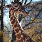 """""""Giraffe"""" by walbyent"""
