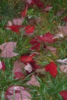 Fallen red leaves
