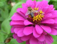 Zinnia and Bee