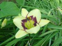Yellow Lily1