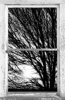 Tree Branches and Light White Farm House Picture W