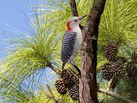 Woodpecker in the Pines