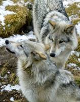 Brother & Sister Wolves