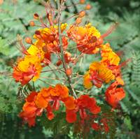 The Mexican Bird of Paradise