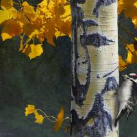 """aspen and downy woodpecker"" by rchristophervest"