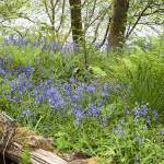 """Scottish Bluebells"" by maxblack"