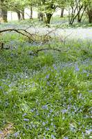 Scottish Bluebell woodland.