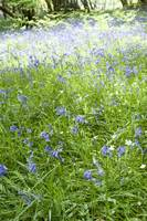 Flowers in the Clearing-Bluebells.