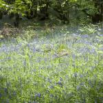 """""""Flowers in the woods - Bluebells."""" by maxblack"""