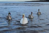 Adult Swan With 3 Juveniles