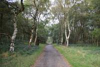 Autumn Path Lined with Silver Birches on Cannock C