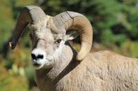 Up Close & Personal with the Mighty Bighorn