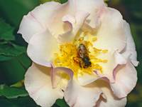 Rose Lady of Dawn and Honey Bee Picture