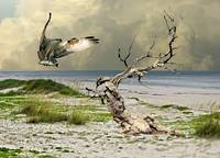 Osprey's Catch