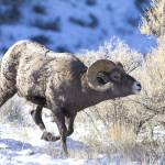 """Big Horn Sheep Ram _MG_0271.Ram searching"" by SamSherman"