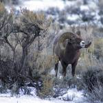 """_MG_0530.ram in sage"" by SamSherman"