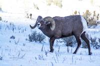 Big Horn Sheep _MG_0577.ram bending head