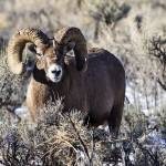 """Big Horn Sheep _MG_0822.Ram"" by SamSherman"