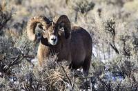 Big Horn Sheep _MG_0822.Ram