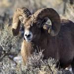 """Big Horn Sheep _MG_0825.Ram"" by SamSherman"
