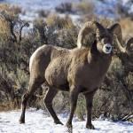 """Big Horn Sheep _MG_0962 .ram in profile"" by SamSherman"