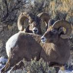 """Big Horn Sheep _MG_0992.2 rams"" by SamSherman"