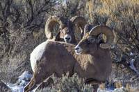 Big Horn Sheep _MG_0992.2 rams