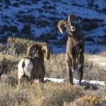 """Big Horn _MG_1061.Rams preparing for a fight"" by SamSherman"