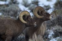 Big Horn _MG_1112.2 rams