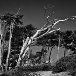 """Windswept Old Tree"" by JimLipschutz"