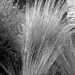 """Grasses"" by JimLipschutz"