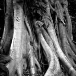 """Banyan Tree Trunk"" by JimLipschutz"
