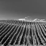 """""""Vineyard Hill"""" by JimLipschutz"""