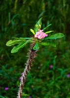 Pink Crown of Thorns