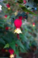 Tropical Fuschia