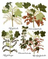 Besler Botanical Plate 004: Currant Plants
