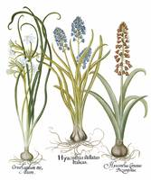 Besler Botanical Plate 012: Mixed Plants