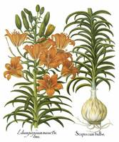 Besler Botanical Plate 024: Orange Lily Plant