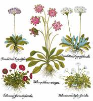 Besler Botanical Plate 031: Mixed Plants