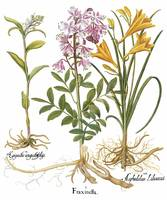 Besler Botanical Plate 037: Mixed Plants