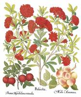 Besler Botanical Plate 040: Mixed Fruit Plants