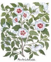 Besler Botanical Plate 042: White Rose of Sharon.