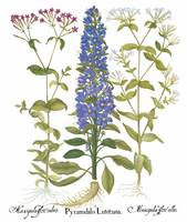 Besler Botanical Plate 045: Mixed Plants